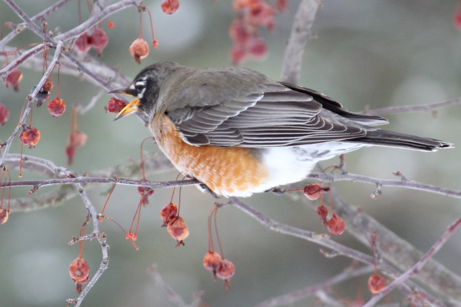 American robin rotating a crab apple before swallowing it