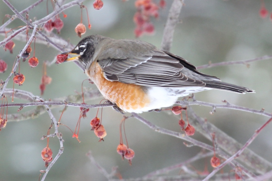 American robin catching a crab apple after rotating it