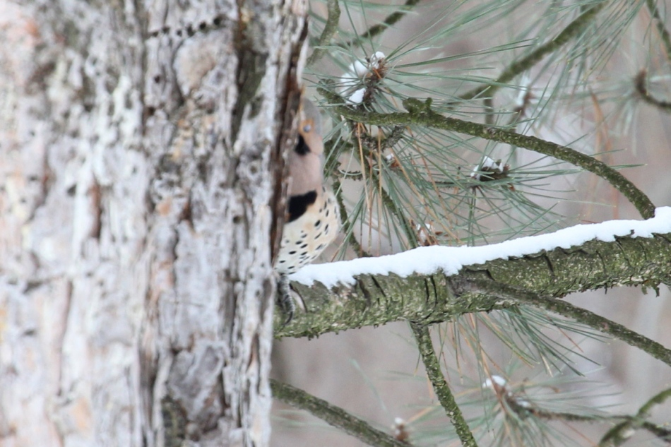 Northern flicker hiding