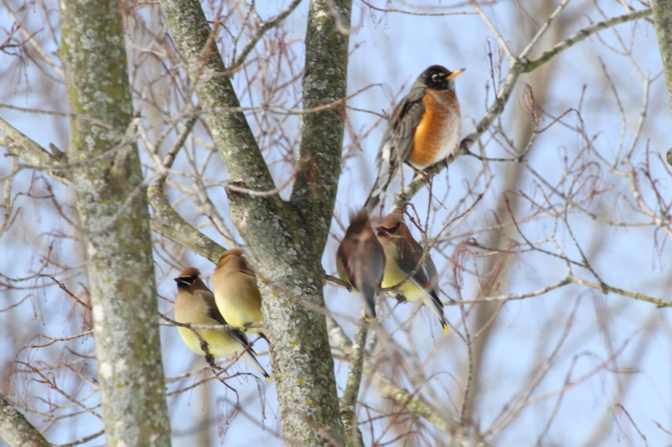 Cedar waxwings and American robin