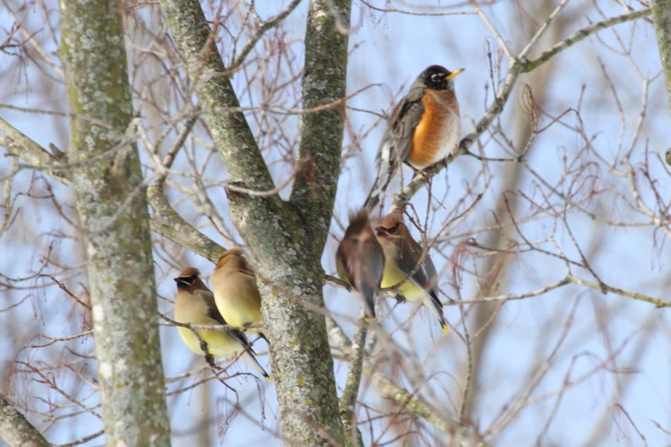 Cedar waxwings and American robin