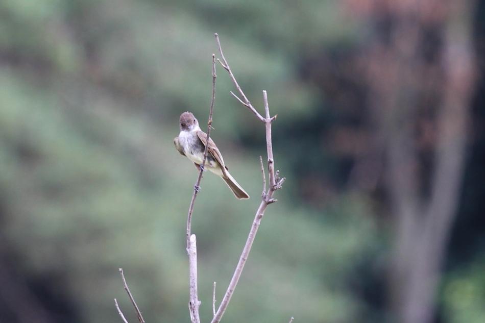 Alder Flycatcher, Empidonax alnorum