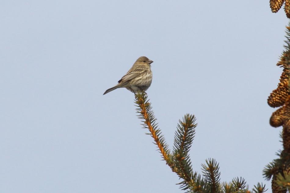 Female house finch