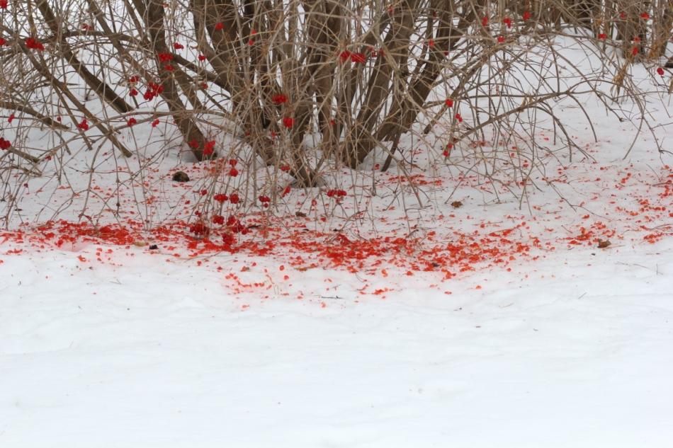 Debris from highbush cranberries