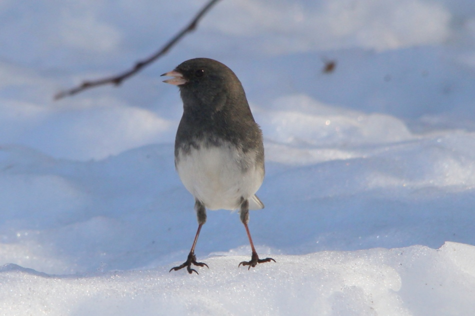 Dark-eyed junco enjoying the weather