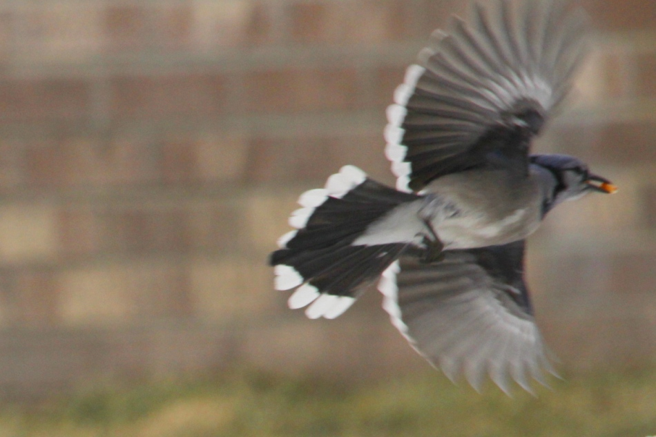 Blue jay leaping into flight
