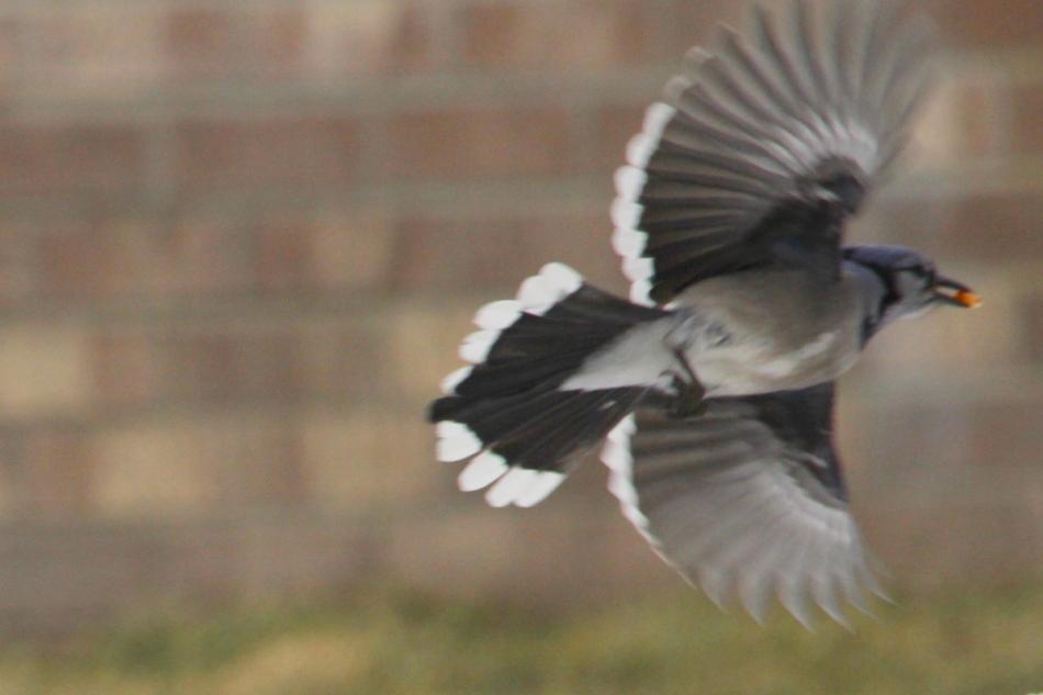 Blue jay leaping into flight