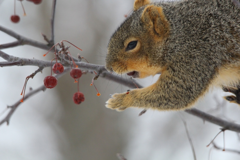 Fox squirrel eating crab apples