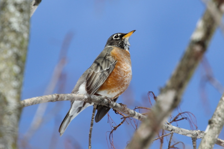 American robin at -1/3 EV
