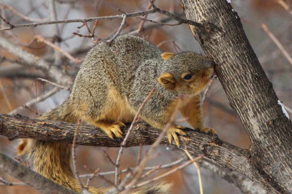Fox squirrel drinking