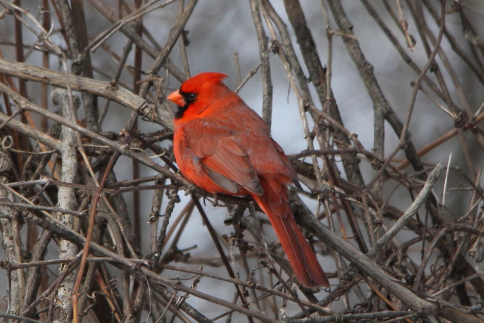 Male northern cardinal -1/3 EV
