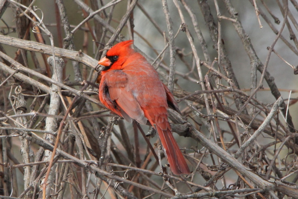 Male northern cardinal no  compensation