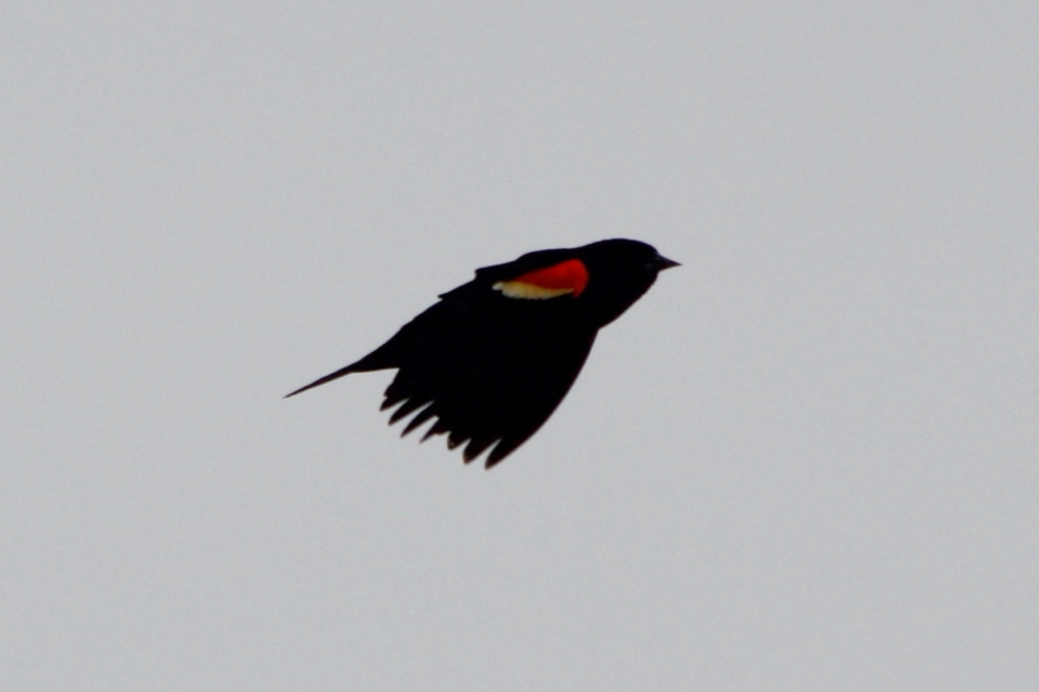 Male red-winged blackbird in flight