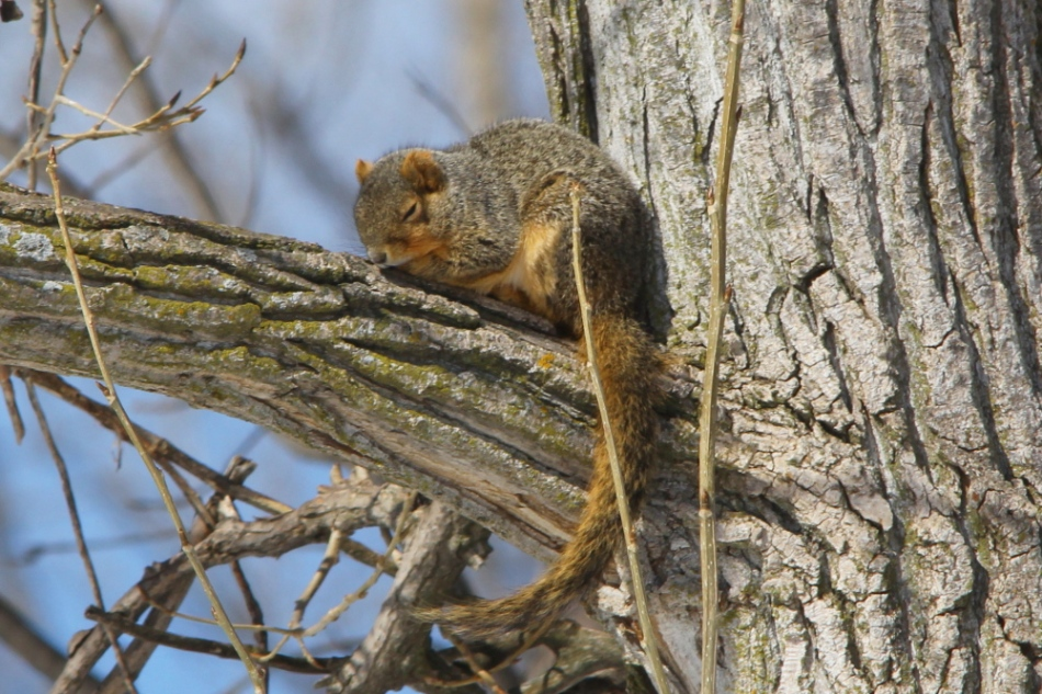 Sleepy fox squirrel
