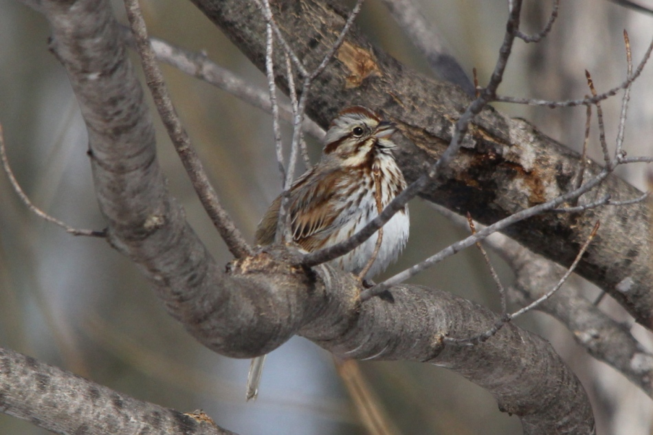 Male song sparrow singing