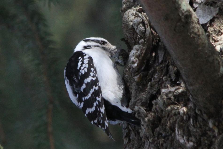 Female downy woodpecker, cropped