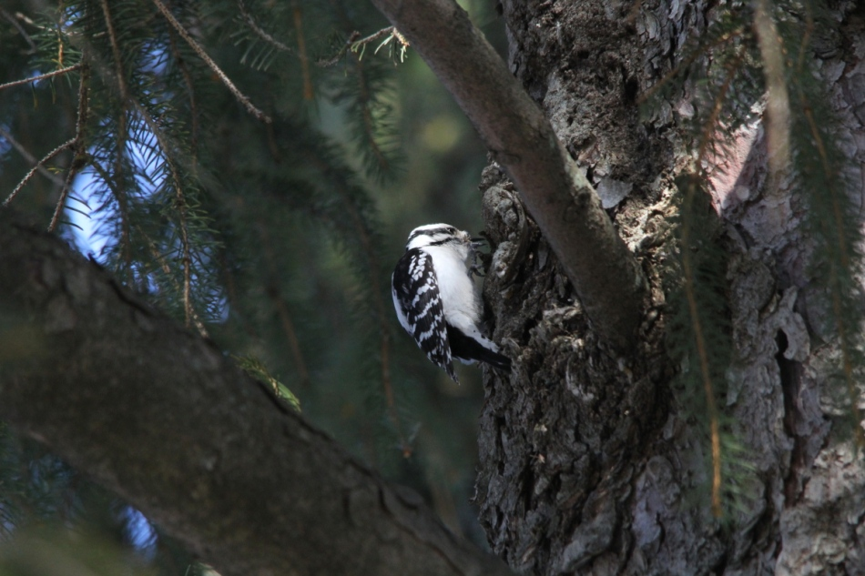 Female downy woodpecker, not cropped