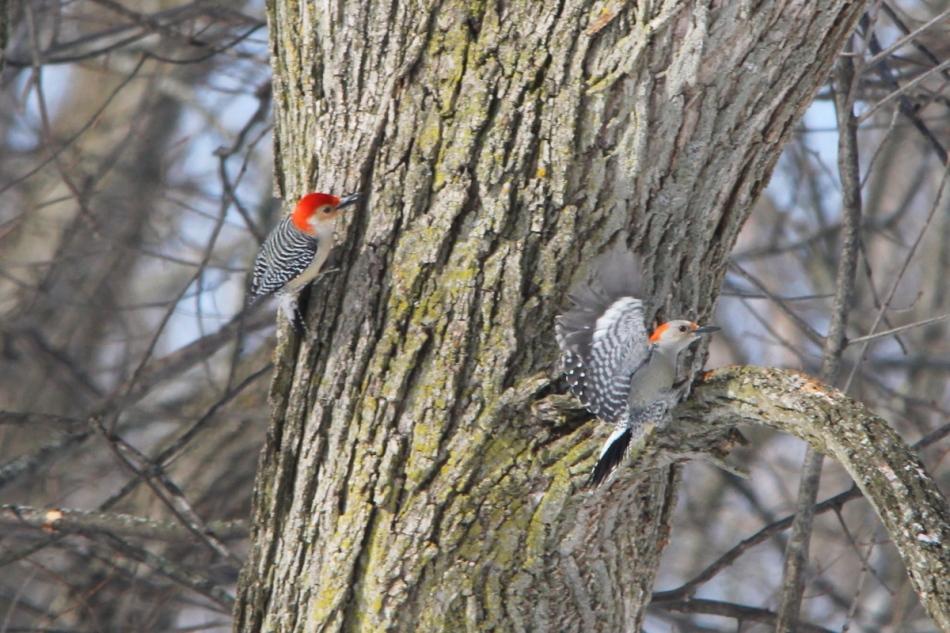 Male red-bellied woodpecker chasing female
