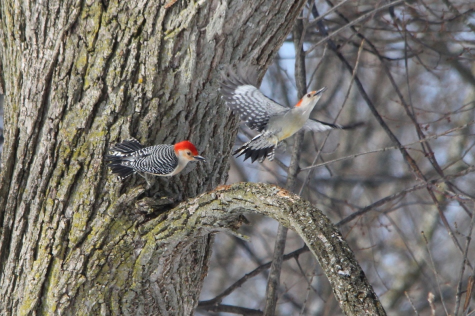 Male red-bellied woodpecker chasing female