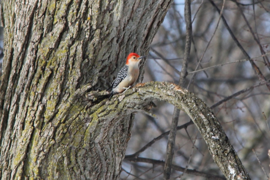 Male red-bellied woodpecker looking rejected after being rebuffed