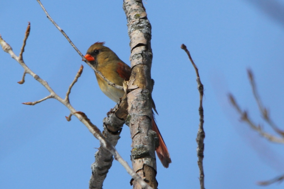 Female northern cardinal, -1/3 EV