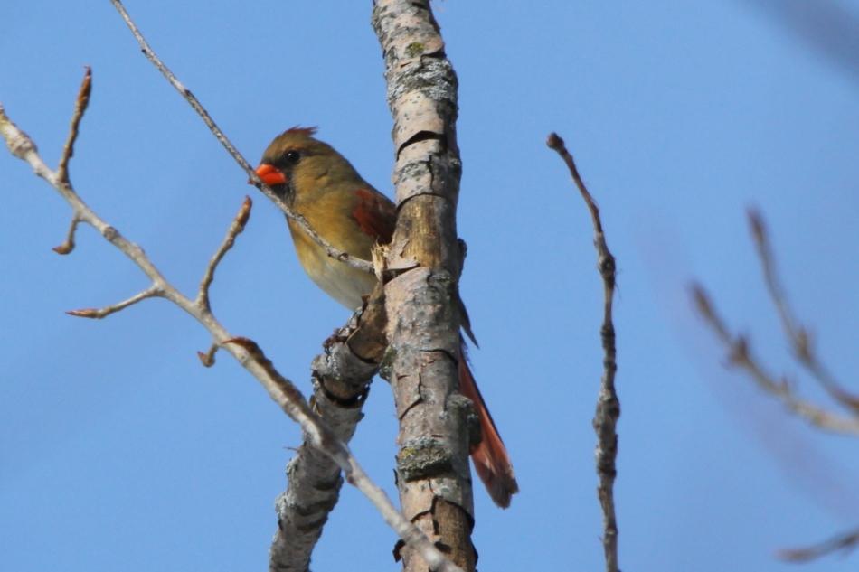 Female northern cardinal, -1/3 EV