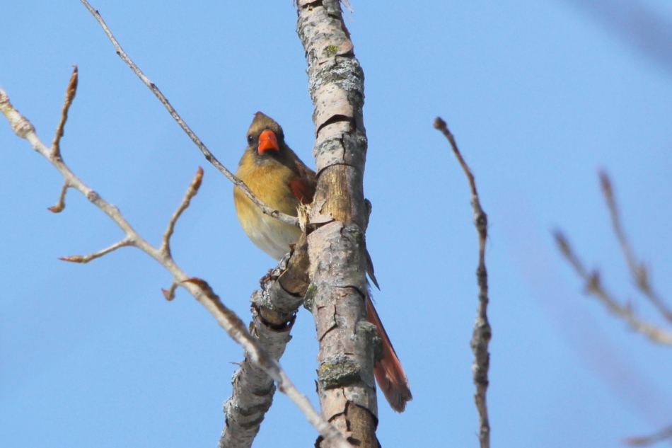 Female northern cardinal, no exposure comp.