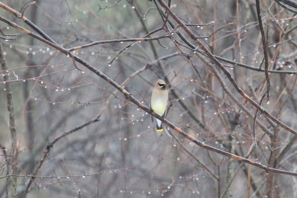Cedar waxwing in the rain