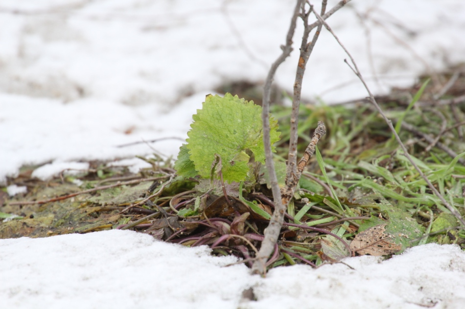 Green leaf in the snow