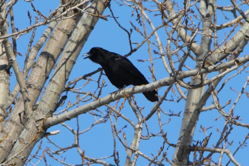 American crow sounding the alarm