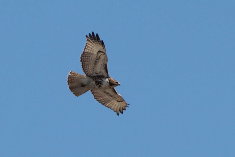 Female red-tailed hawk in flight