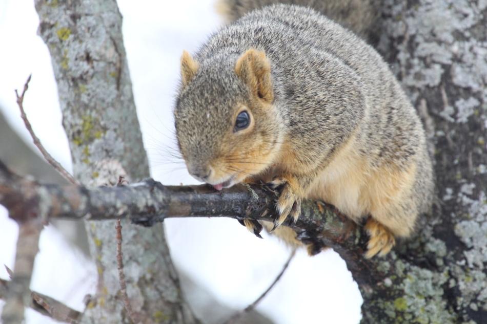 Fred the friendly fox squirrel drinking