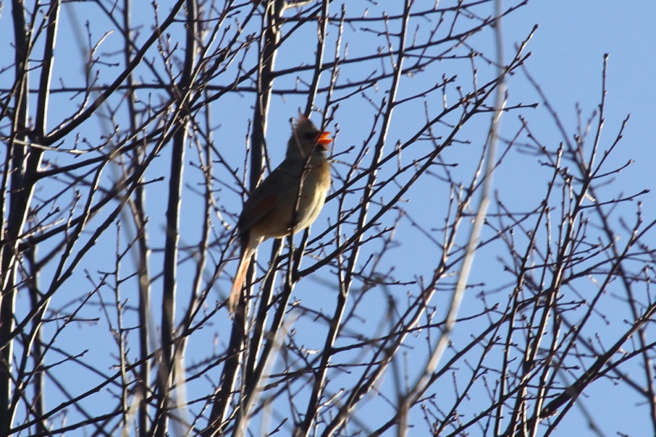 Female northern cardinal singing