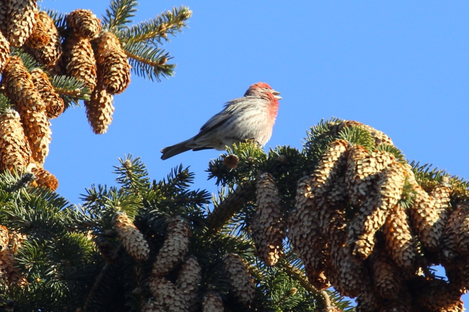 Male house finch singing