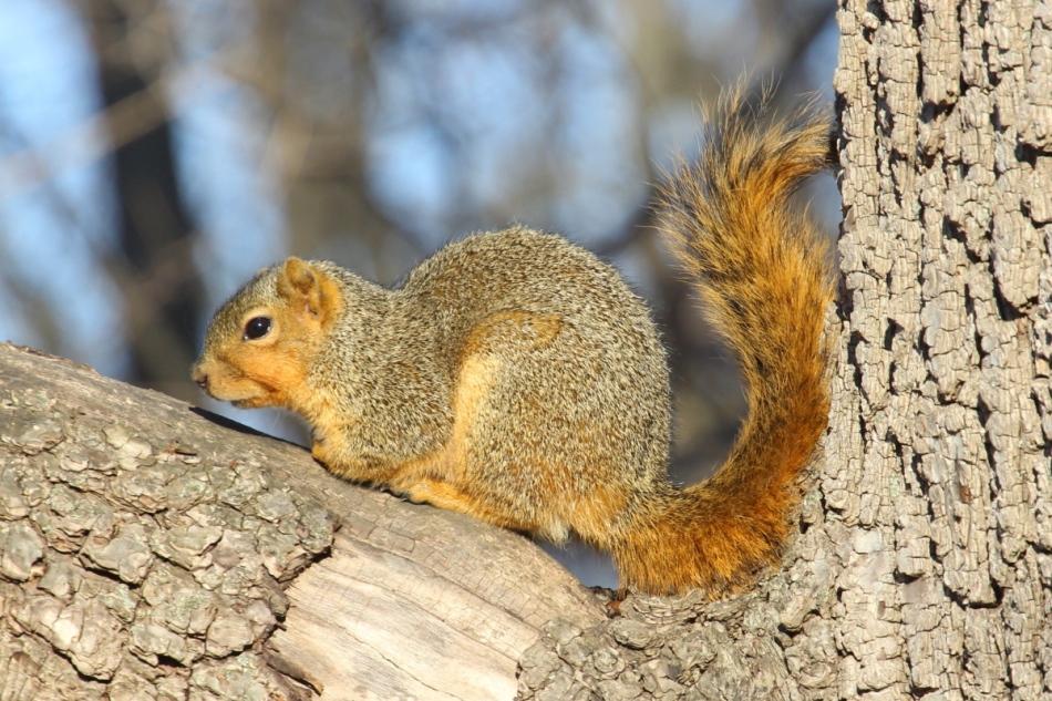Fox squirrel staying warm