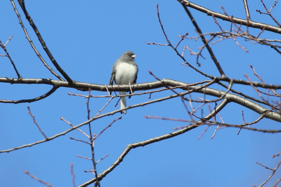 Dark-eyed junco singing