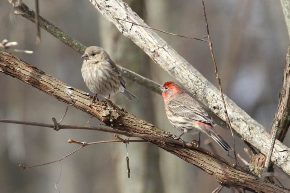A pair of house finches
