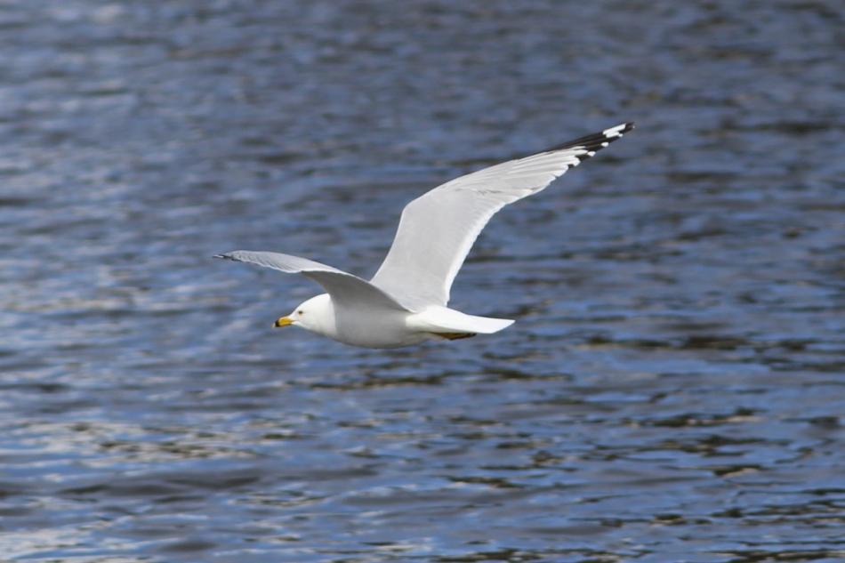 Ring-billed gull in flight cropped