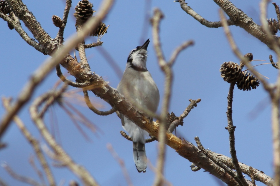 "Blue jay ""singing"""
