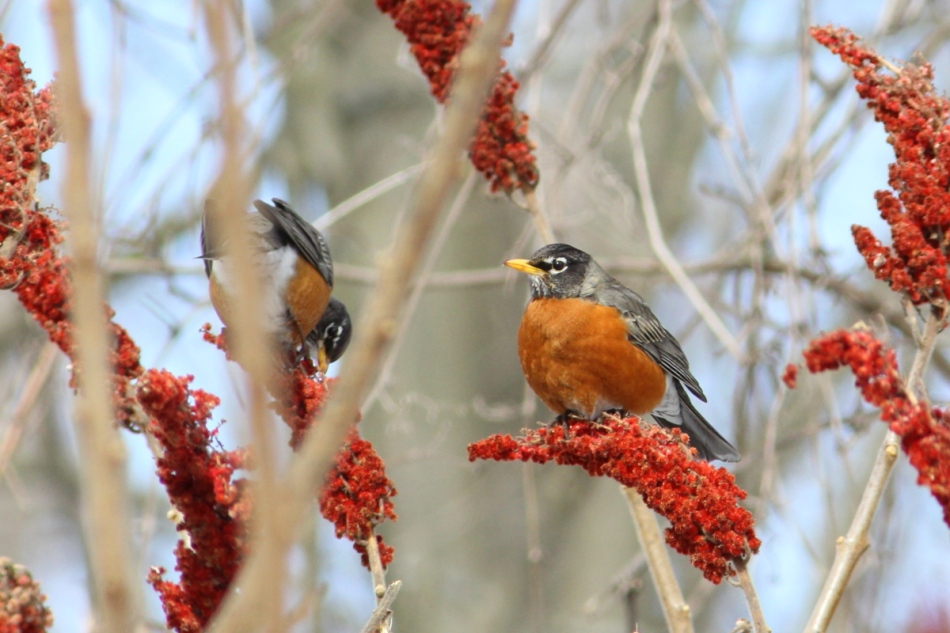 American Robins eating sumac