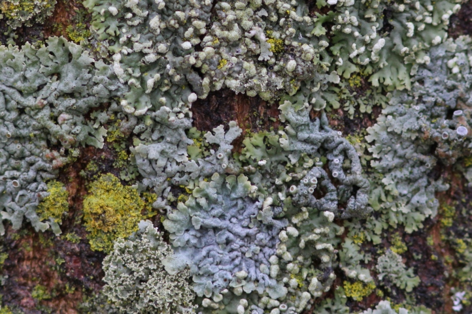 Lichens cropped