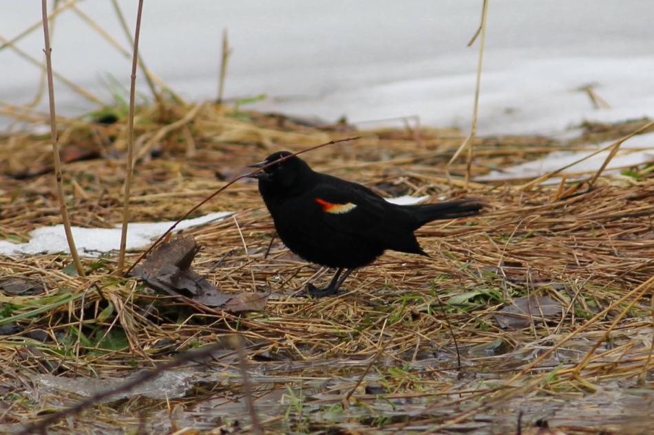 Male Red-winged blackbird