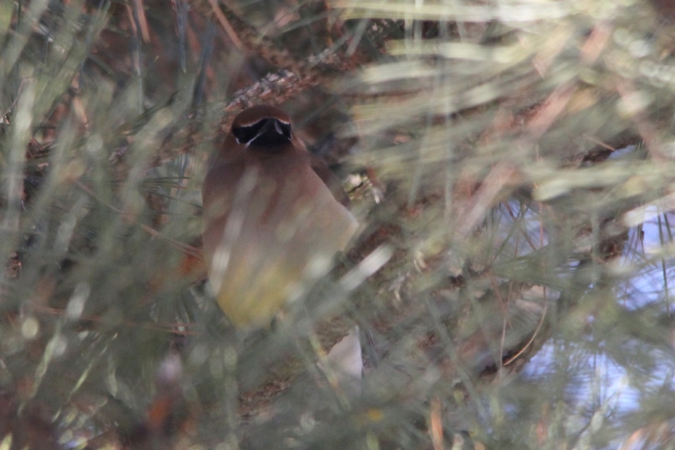 Cedar waxwing trying to hide from the Beast