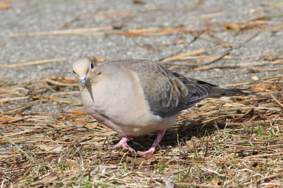 Mourning dove, not cropped