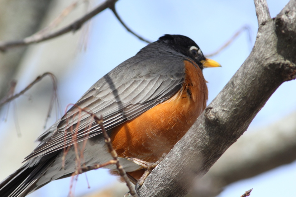 American robin, not cropped at all