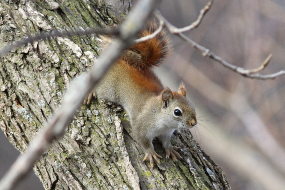 Red squirrel in the shade