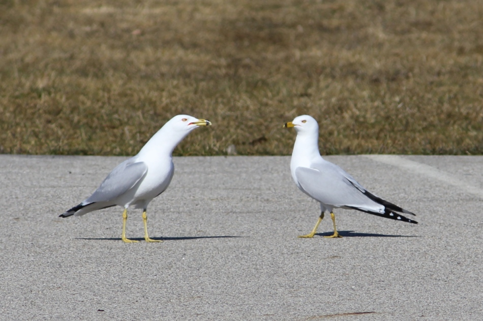 Ring-billed gulls greeting each other
