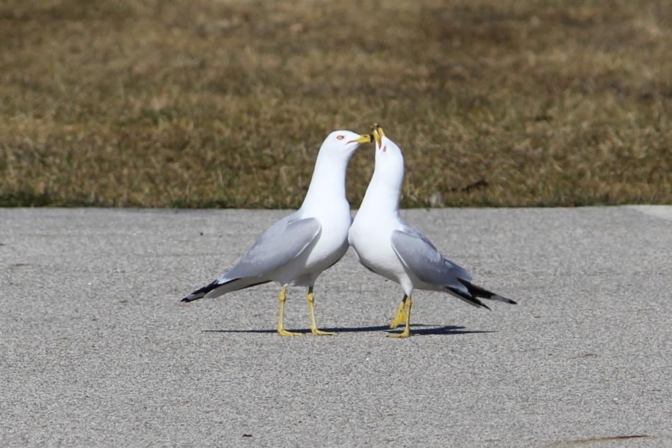 Ring-billed gulls rubbing bills