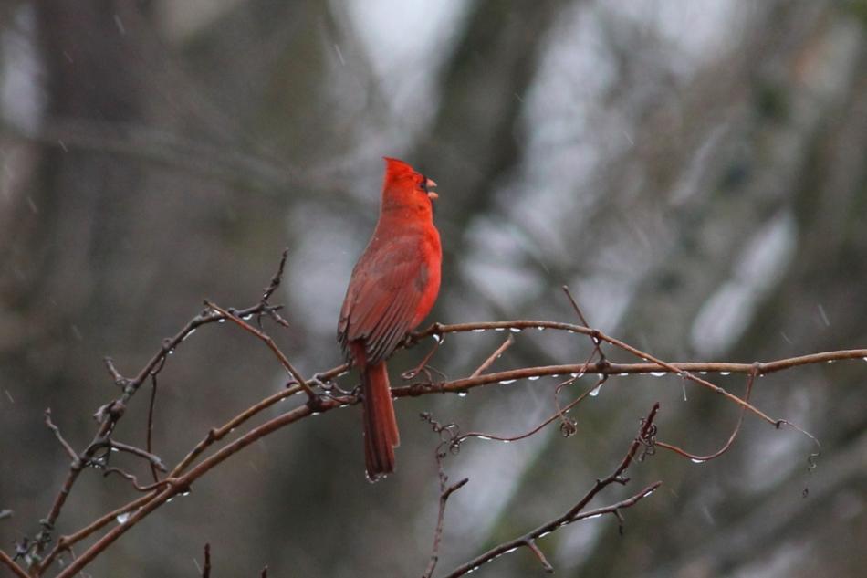 Male northern cardinal singing in the rain