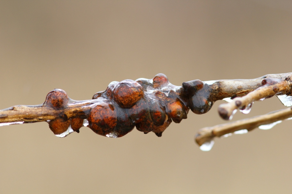 Ice covered galls